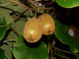 Dried Kiwi (9)